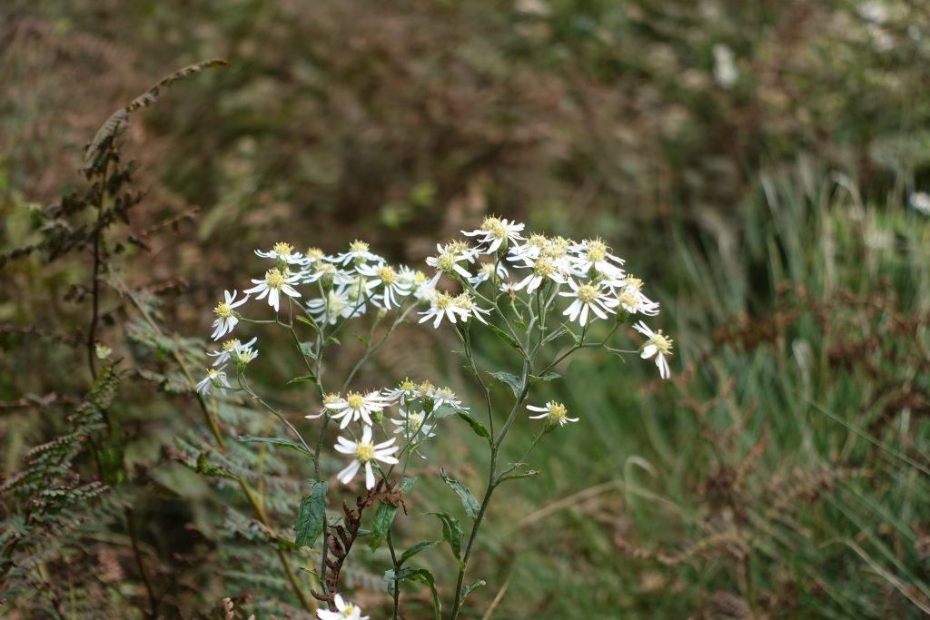 三重御池岳 池の平付近の白い花