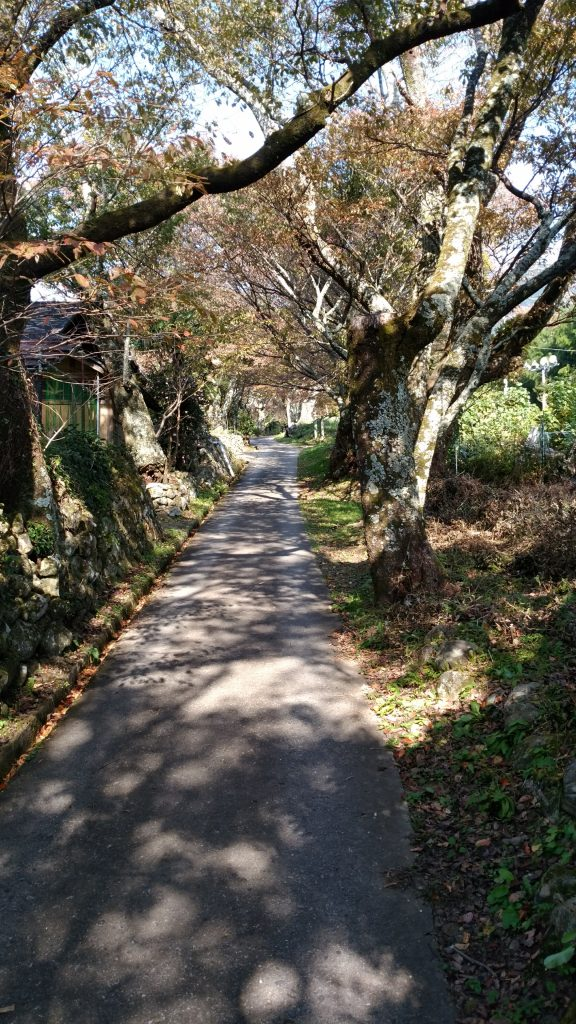 三重 大洞山 三多気の桜道