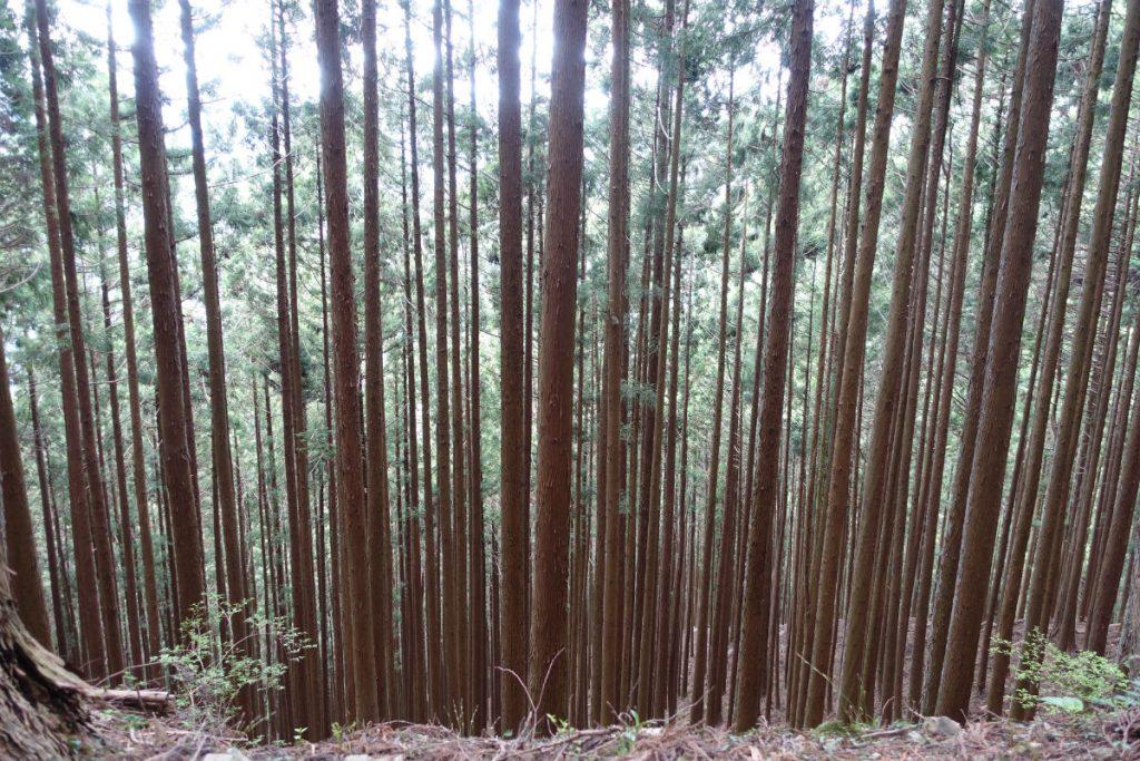 東京本仁田山 以上に密生した杉林