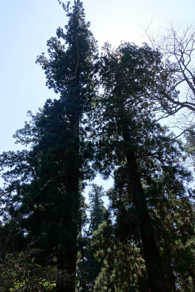 高尾山薬王院 参道の杉