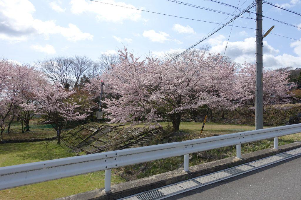 藤原岳 大貝戸口の桜
