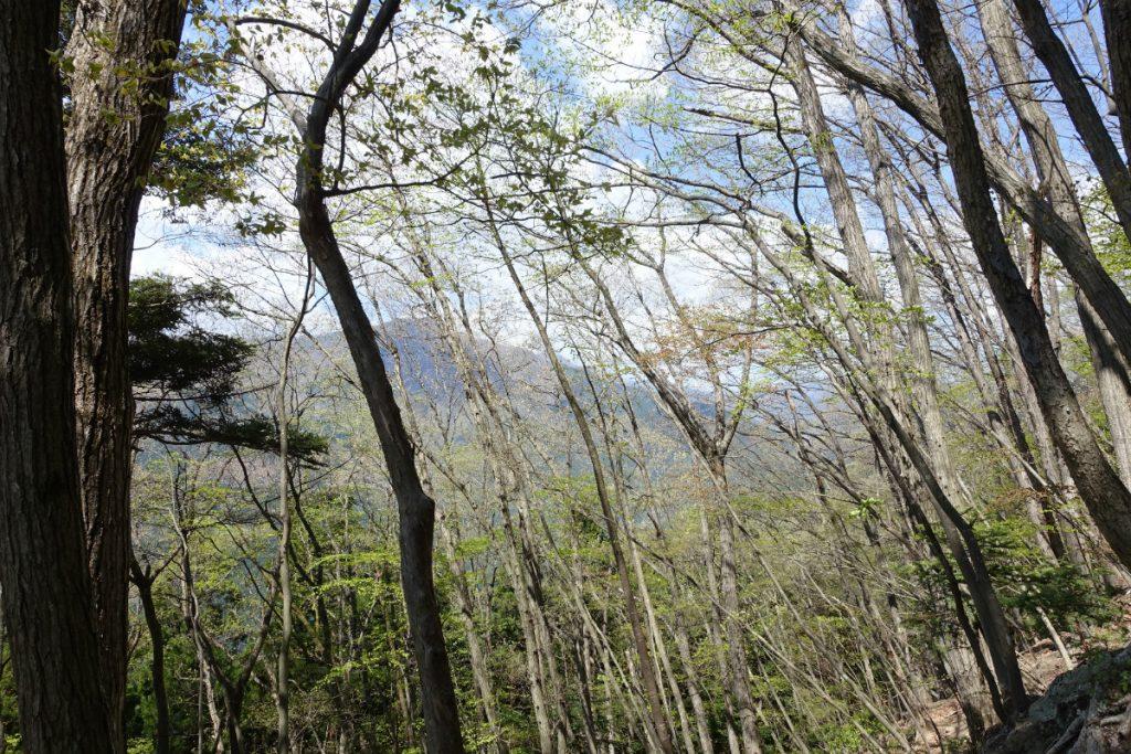 東京本仁田山 林の間から見える石尾根の山々か
